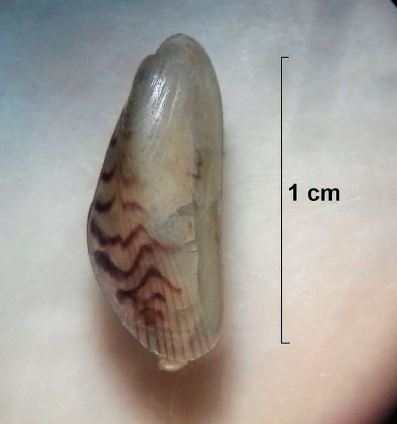First record of the invasive Asian date mussel WA